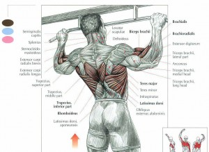 Pull-Up-Muscle